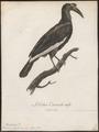 Bucorvus abyssinicus - 1796-1808 - Print - Iconographia Zoologica - Special Collections University of Amsterdam - UBA01 IZ19300143.tif
