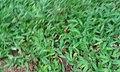 Buffalo grass Melagram Tenkasi Tamilnadu Tamil nation 2.jpg