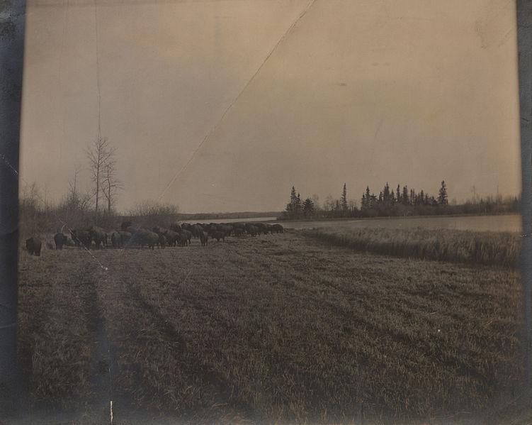 File:Buffalo in Elk Park, Alberta (HS85-10-19071).jpg