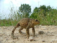 A common toad adopts a defensive stance