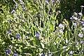 Buglossoides purpurocaerulea--2861.jpg
