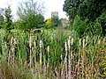 Bullrushes by the A46 - geograph.org.uk - 1493512.jpg
