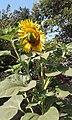 Bunga Bundar Bewarna Kuning.jpg