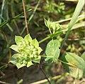 Bupleurum rotundifolium sl14.jpg