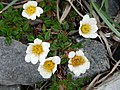 Burren Flora 21 Mountain Avens (3585397897).jpg