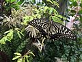 Butter fly in Itami greenhouse 1.jpg