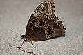 Butterfly eyes 2 (5570075197).jpg