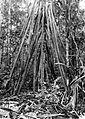 COLLECTIE TROPENMUSEUM Luchtwortels van de pandan (pandanus) Aroe-eilanden TMnr 10011445.jpg