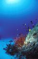 CSIRO ScienceImage 10815 Red coral.jpg