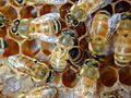 CSIRO ScienceImage 7104 Worker European honeybee Apis mellifera with wing deformities caused by varroa mite.jpg