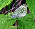 Cabbage White (Pieris rapae) (7854289830).jpg