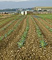 Cabbage looking - geograph.org.uk - 563747.jpg