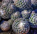 Cactus (8313233854).jpg
