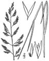 Calamagrostis pickeringii BB-1913.png