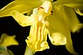 Calanthe striata R.Br. ex Spreng., Syst. Veg. 3 743 (1826) (40982383285).jpg
