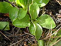 Calceolaria uniflora-leaves.JPG