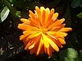 Calendula officinalis flower 1.JPG
