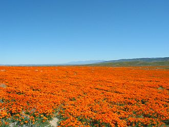 Antelope Valley California Poppy Reserve - A field of California poppies
