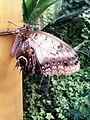 Caligo beltrao, Bornholms Sommerfuglepark 2.jpg