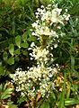 Callisia fragrans, bloeiwyse, Manie van der Schijff BT, d.jpg