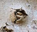Callus growth, Acer pseudoplatanus, Ballochmyle, East Ayrshire.jpg