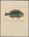 Callyodon viridescens - 1835 - Print - Iconographia Zoologica - Special Collections University of Amsterdam - UBA01 IZ14000020.tif