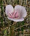Calochortus striatus 10.jpg