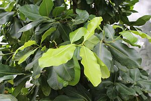 Calophyllum inophyllum - Leaves