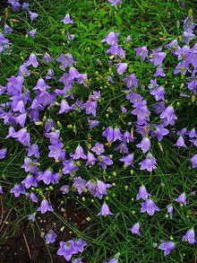 Campanule feuilles rondes wikip dia - Campanule a feuilles rondes ...