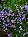 Campanula rotundifolia 001.JPG