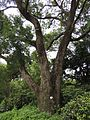 Camphor Tree near Hole 3.JPG