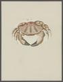 Cancer aeneus - - Print - Iconographia Zoologica - Special Collections University of Amsterdam - UBAINV0274 094 14 0037.tif