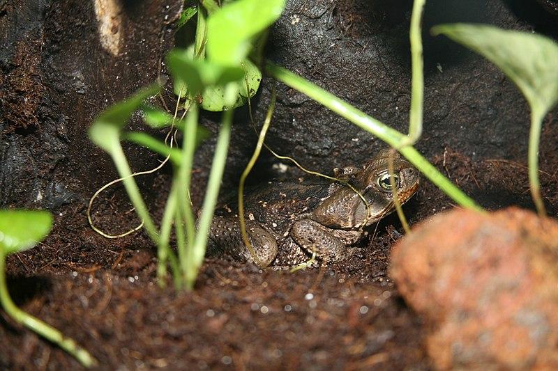 File:Cane Toad (Bufo marinus) (3152824422).jpg