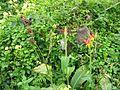 Canna indica (Fruits).jpg