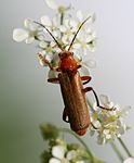 Cantharis livida red form.jpg