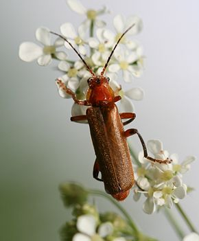 Description de l'image Cantharis livida red form.jpg.