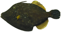 Cantherhines macrocerus - pone.0010676.g192.png