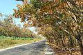 Cao Su mùa thay lá (Suối Trầu ) - panoramio (2).jpg