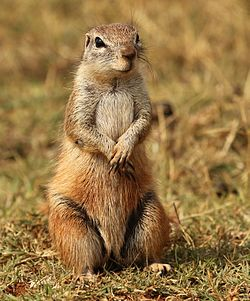 Cape ground squirrel, Xerus inauris, at Krugersdorp Game Reserve, Gauteng, South Africa (27410187351).jpg