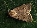 Caradrina clavipalpis - Pale mottled willow - Наземная совка четырёхточечная (39309674370).jpg