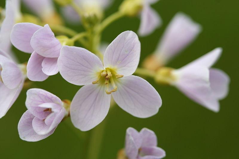 fleurs blanches de la cardamine