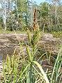 Carex joorii.jpg