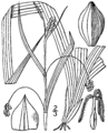 Carex laxiculmis BB-1913.png