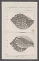 Cassidaria echinophora - - Print - Iconographia Zoologica - Special Collections University of Amsterdam - UBAINV0274 074 03 0004.tif