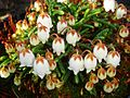 Cassiope lycopodioides 'Jim Lever' 4.jpg