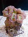 Cat's Eye Coral (Caulastrea furcata) - GRB.jpg