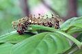 Caterpillar, Karkala, India 2.jpg