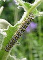 Caterpillar, Warnham Nature Reserve - geograph.org.uk - 237935.jpg