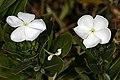 Catharanthus roseus 1DS-II 3-7414.jpg
