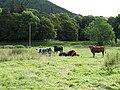 Cattle, Hearthstane - geograph.org.uk - 509753.jpg